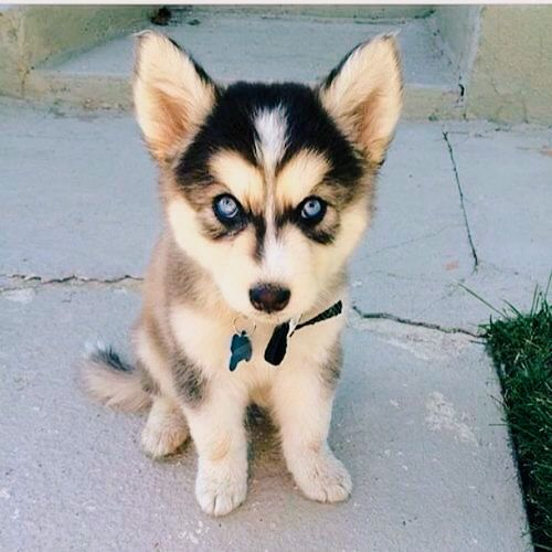 Awwwh! Too cute husky puppy.