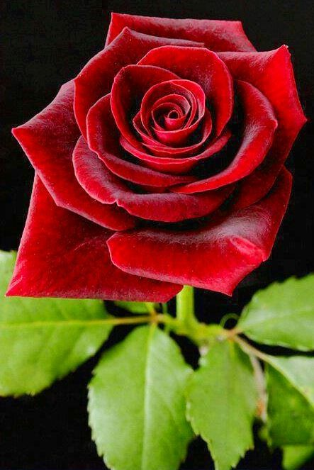 Red Rose via Lovely Roses Facebook page