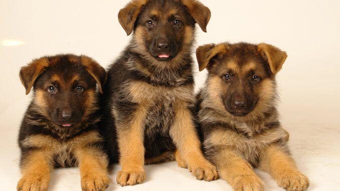 Drei Welpen Deutscher Schaferhund Deutscher Schaferhund Welpen Welpen Schaferhunde