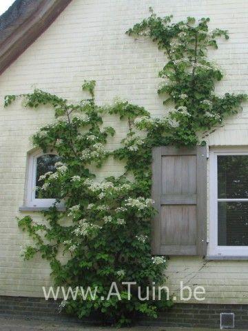 25 beste idee n over klimhortensia op pinterest witte tuinen klimmende bloeiende wijnstokken - Wijnstokken pergola ...