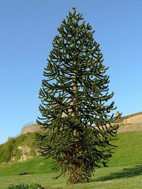 Saw a monkey puzzle tree at Butchart Gardens in Victoria, Vancouver Island, BC