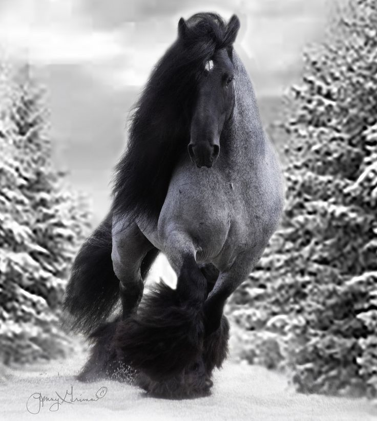 Horse Photography - Blue roan Gypsy stallion named Black Jack in the snow.