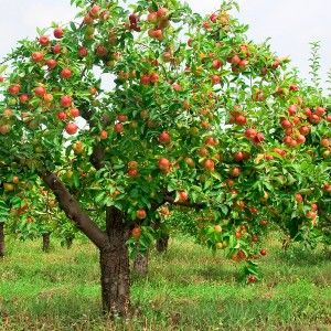 Oh... to have an apple tree/small orchard in the backyard... a girl can dream :)