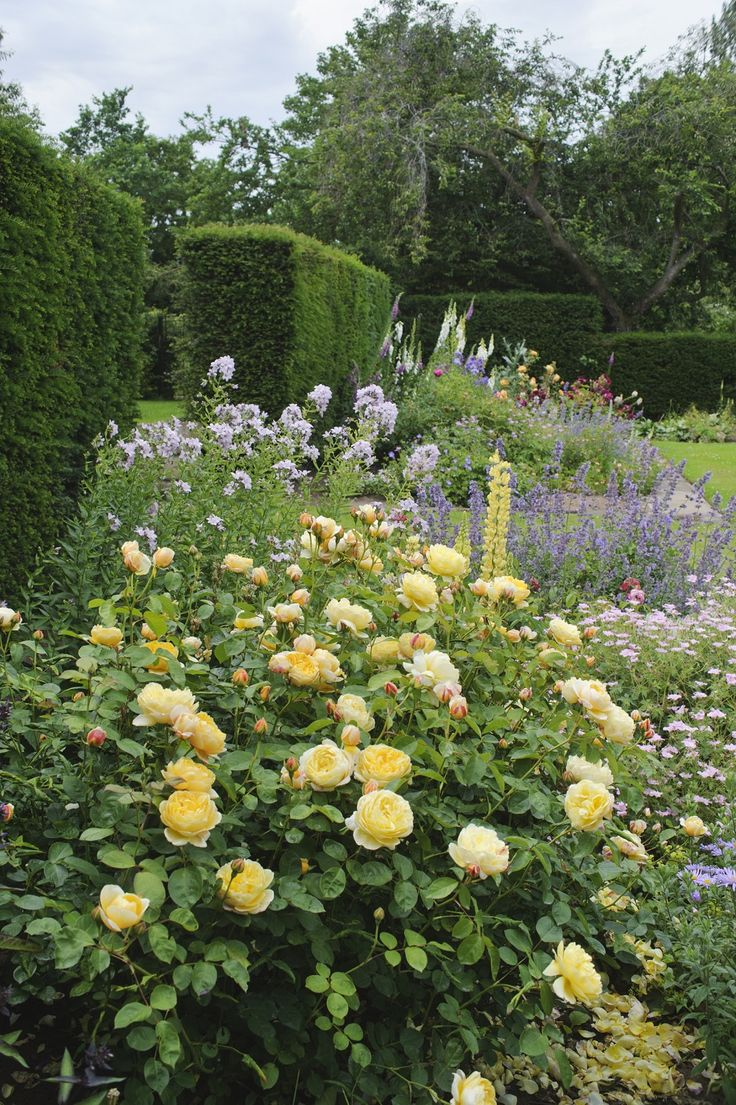 Beautiful rose gardens of the world - Charlotte Auspoly In A Mixed Border Davidaustin Gardenroses Border Gardenherbaceous Borderbeautiful Rosesbeautiful
