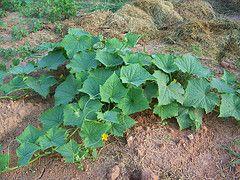watering and fertilizing cucumbers