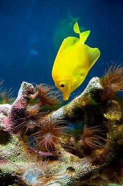 Underwater Yellow fish   under the sea     oceanlife     amazing nature   #oceanlife #amazingnature https://biopop.com/