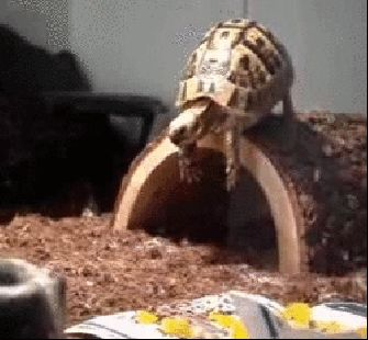 This turtle who just totally underestimated the distance he had to jump: | 28 Animals Who Have Made A Huge Mistake
