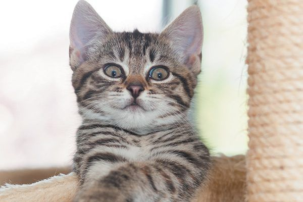 Brown Striped Kitten With A Surprised Expression