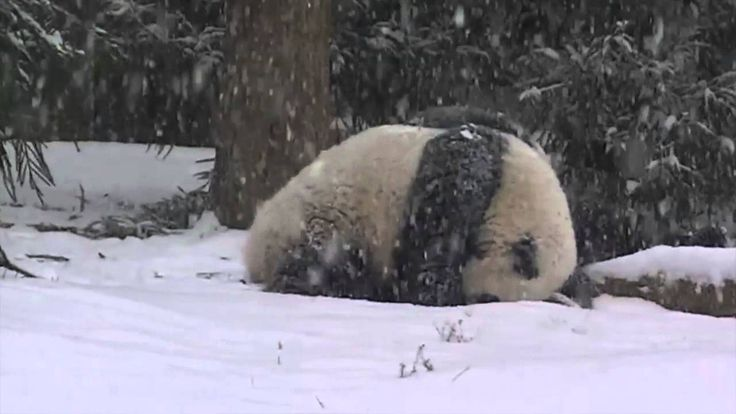Bao Bao's First Snow Day! Smithsonian's National Zoo: Jan. 6, 2015—As the year's first blanket of snow coated the Washington, D.C. area today, giant panda Bao Bao spent much of the morning playing in it for the very first time.