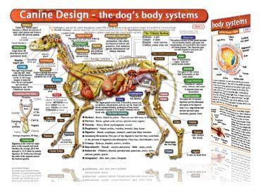 Canine organ anatomy