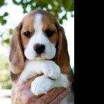 North Country Beagle desktop