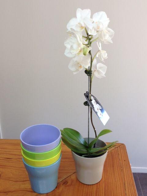 Beautiful flowering Phalaenopsis Orchids in coloured melamine vases!  www.summerhillnurseries.com.au