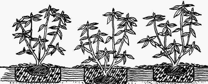 Рододендрон - посадка, уход, обрезка, подкормка и зимовка