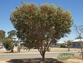 Eucalyptus torquata - Coral Gum  Grows to 8m tall, plant 4m from sewerage