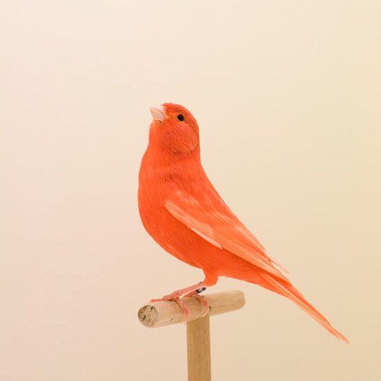 Oranje zangvogel