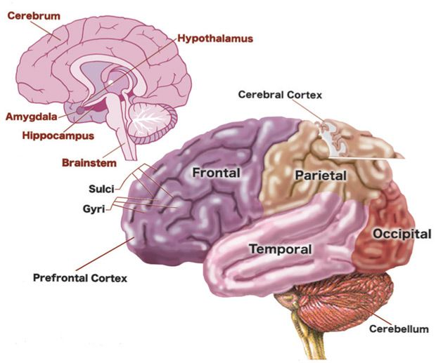 Frequently Asked Questions About Brain Development
