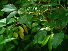 Huile essentielle de Ravintsara: propriétés et utilisation sans danger (Cinnamomum camphora ct eucalyptole)) : Ravintsara… savez-vous que même les plus grands noms de l'aromathérapie l'ont confondue avec une autre ? Donnant à celle-là les propriétés de celle-ci. Soyons donc bien clair, l'huile essentielle d…
