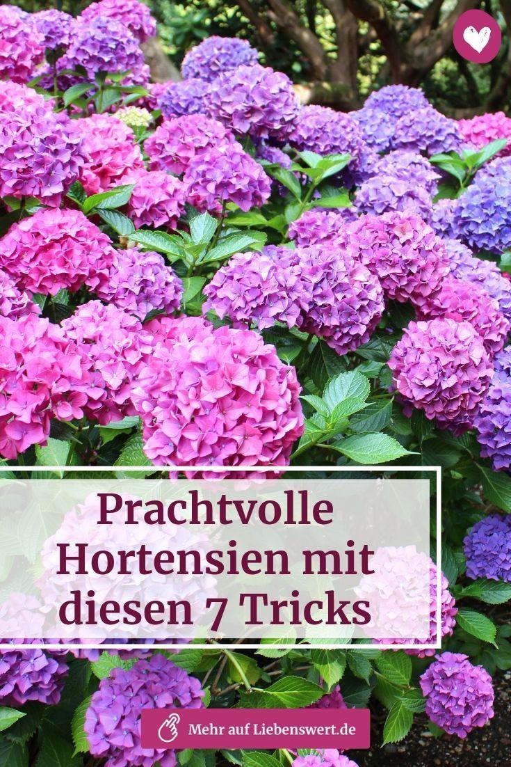 Ob im Bett oder in der Wanne – wie Sie Hortensien mit kleinen Tricks zu großen Blüten…   – Alles für deinen Garten