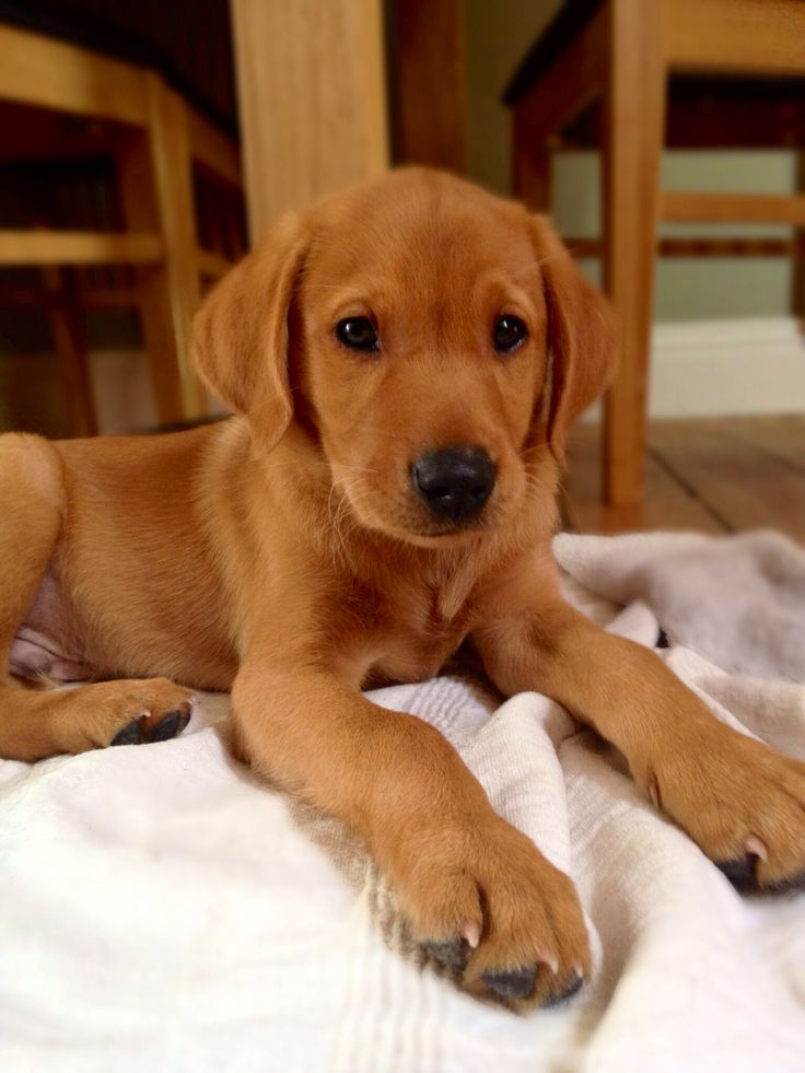 Fox Red Labrador Loki Puppies and pets! Pinterest