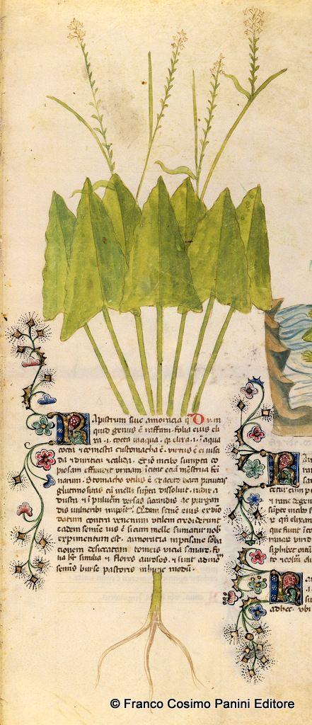 """CONSIGLI DAL MEDIOEVO: IL RAPISTRO - """"Il rapistro fa parte del genere del rafano. Il suo seme dato con il vino si ritiene utile contro il veleno. Bevuto come tisana, lo stesso succo giova per sanare i disturbi delle corde vocali"""". Dal codice """"Historia Plantarum"""", fine XIV secolo."""