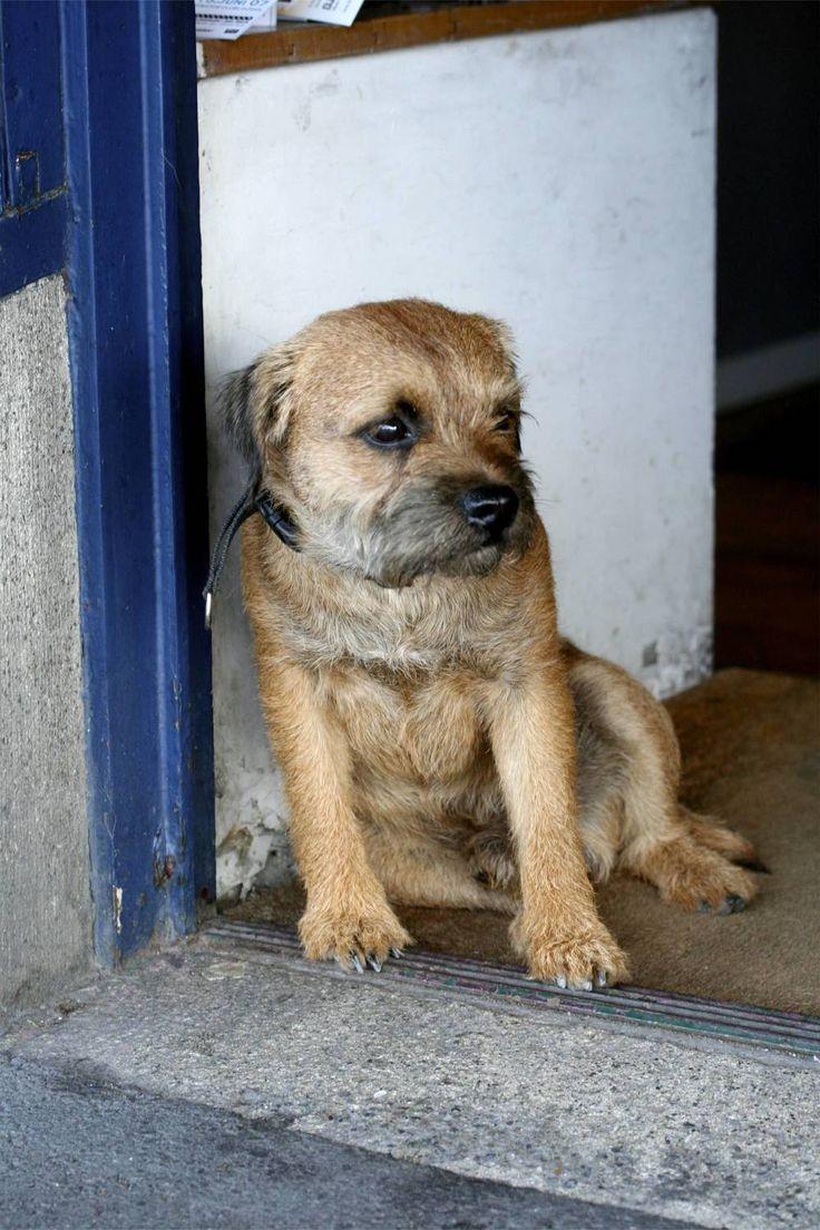 138 best Border terriers images on Pinterest | Cubs, Puppies and Puppys | Border Terrier Puppies Western Australia