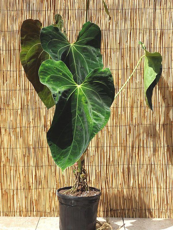 Anthurium Papillilaminum Croat Plant In 6 Pot Kens Philodendrons Plants Anthurium Anthurium Plant