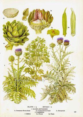 Globe Artichoke Cardoon Okra Vegetable Plant Flowers Food