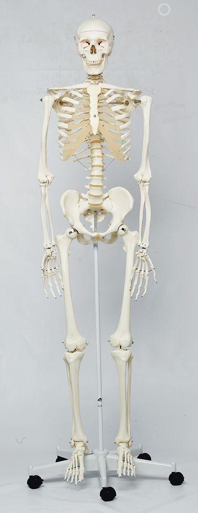 Classic Stan Human Skeleton Anatomy Model