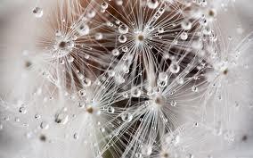 dew drop dandelions - so pretty!