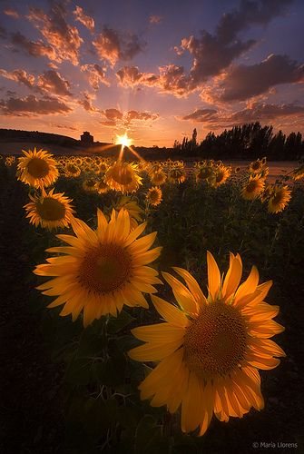 One of my first memories of Spain is the sunflower fields between Madrid & Salamanca.  Sunset in sunflower field, Spain
