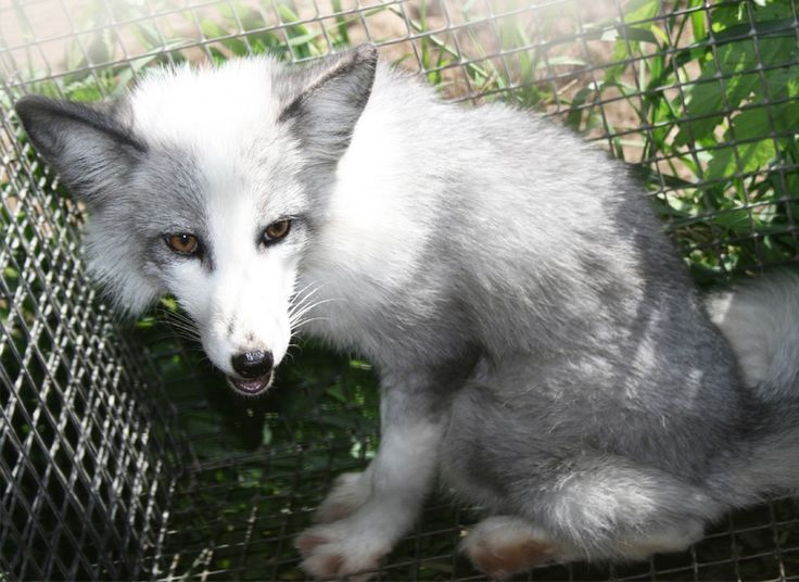 Can I keep a domestic silver fox as a pet in BC, Canada?