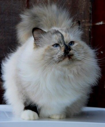Cat Calico Coat Patterns | ... Maine Coons, Siberians, Norwegian Forest Cats, Birmans and Persians