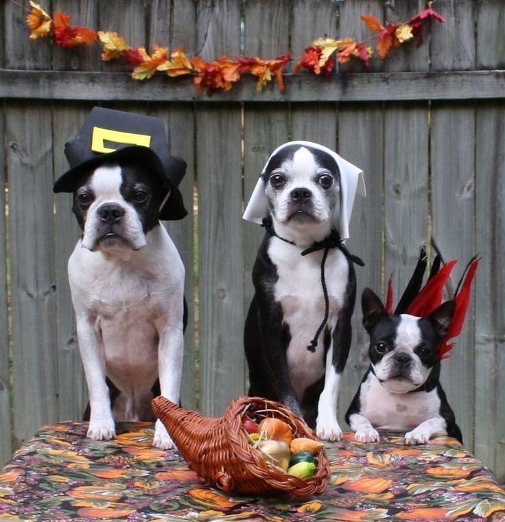 Happy Thanksgiving. Boston Terrier Thanksgiving