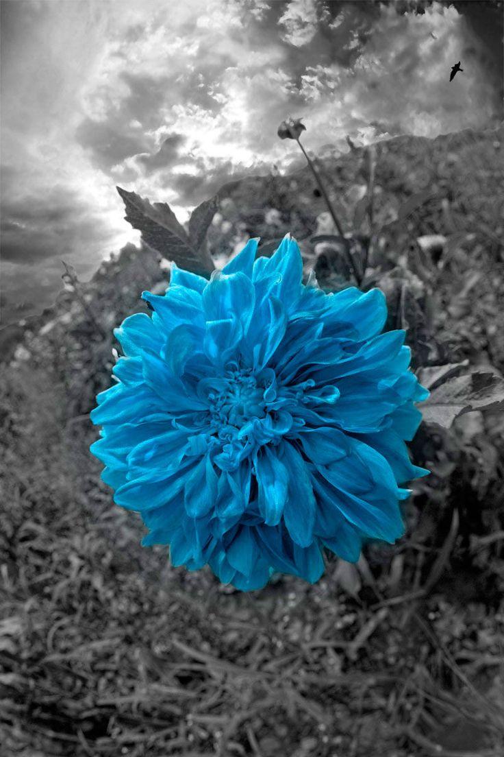 Blue Dahlia ...