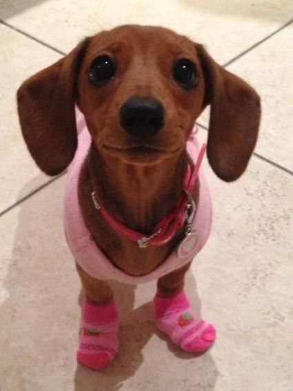Cute Baby Dachshund in shirt and socks .... click on picture to see more