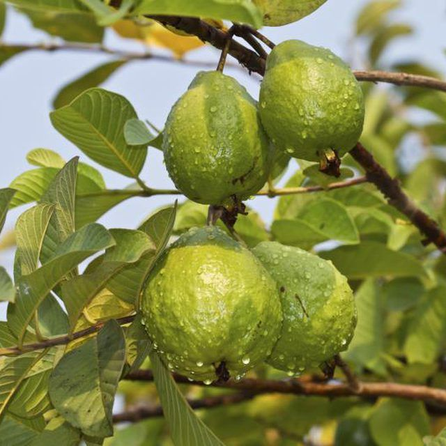how to grow pineapple guava