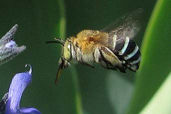 Blue-banded Bee3