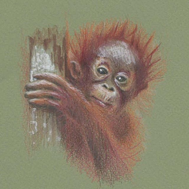 Our Wednesday fluff comes courtesy of this baby #Orangutan - that face!     By Lucy from The Bill Skinner Studio  #BillSkinner #illustration #illustrator #sketch #babyorangutan