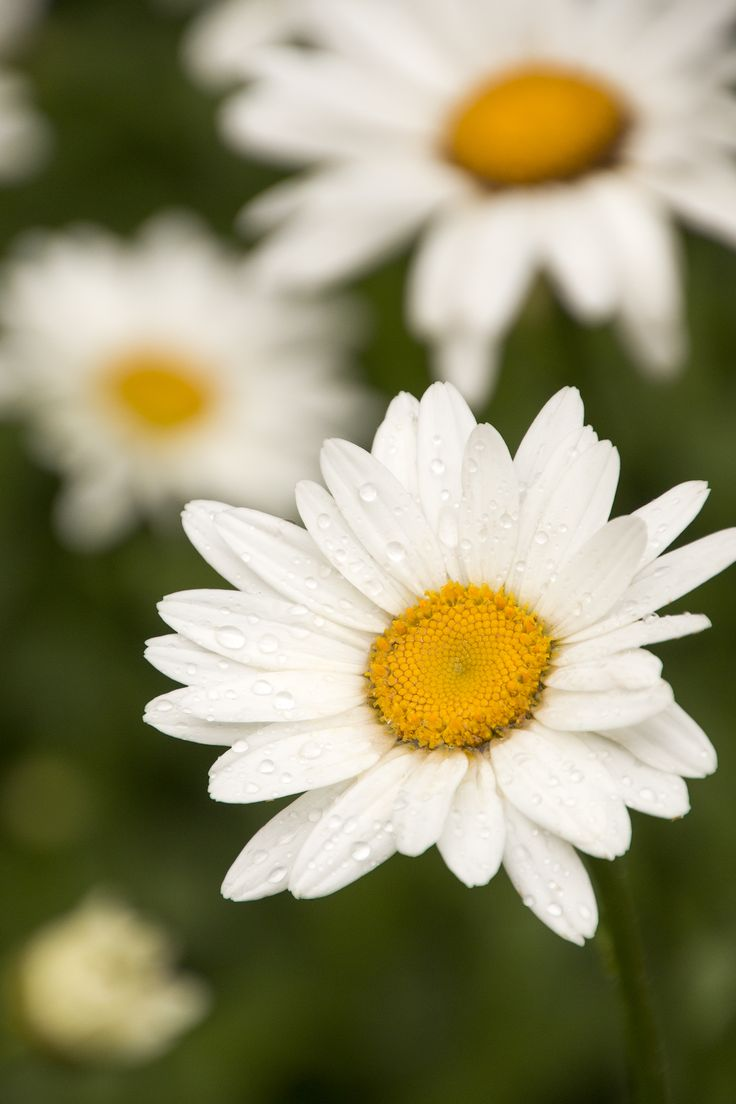 Becky Shasta Daisy are an essential for containers, borders and in cut arrangements in schemes from formal to cottage. Sturdy flowers hold up to hard rain. Full sun. Zone: 5 – 9