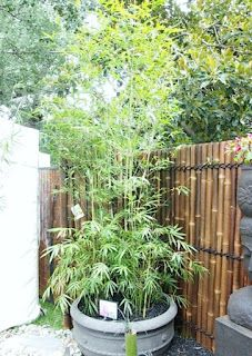 Bamboo makes a gorgeous and lush addition to any pet friendly garden - but be cautious! This plant is an aggressive spreader and will pop up all over your yard. We love it planted in containers for big impact and low maintenance.