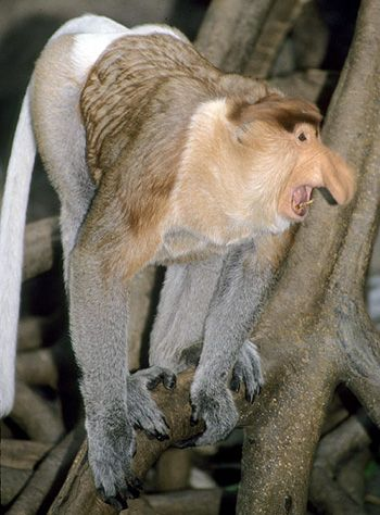 Proboscis Monkey Gif