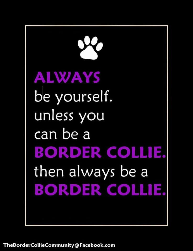 ...Unless you can be a Border Collie...then be a Border Collie! #thebordercolliecommunityfacebook