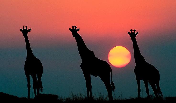 Giraffe Silhouette at Elephant Plains Lodge http://www.pridelodges.com/index.php/game-lodges/classic/elephant-plains/