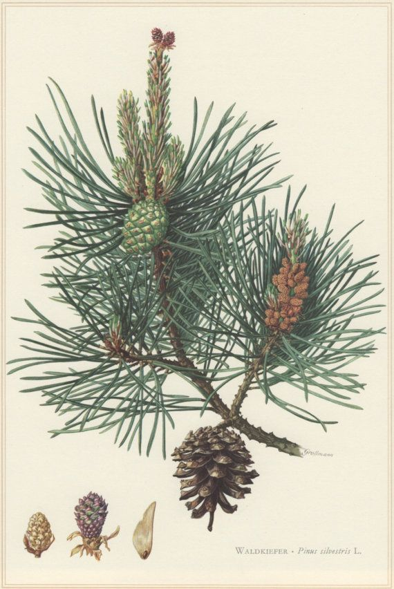 1960 Vintage Botanical Print Scots pine Pinus by Craftissimo