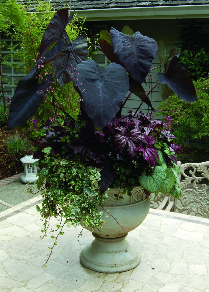 Container with black foliage (Elephant Ears,Taro)