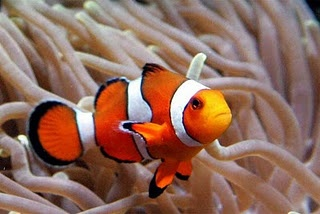 Who doesn't want a Nemo in their saltwater tank? :)