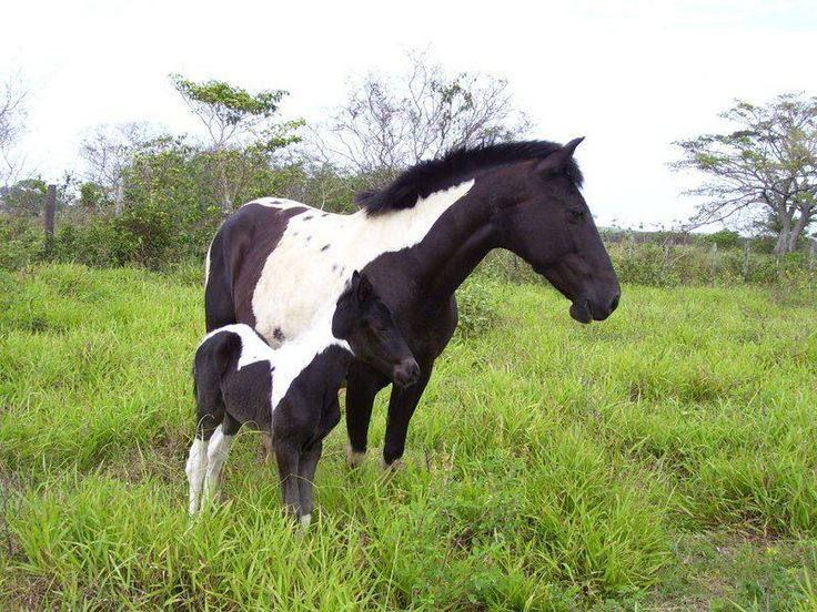 Cavalo Pampa. Pampa horse or Brazilian pinto horse. Pampa mare and foal. The origin of the Pampa horse name and Tobiano coat color comes from the same man, the Brazilian Brigadier and horse breeder Rafael Tobias de Aguiar, that which created spotted horses, pinto horses, in the mid-19th century.