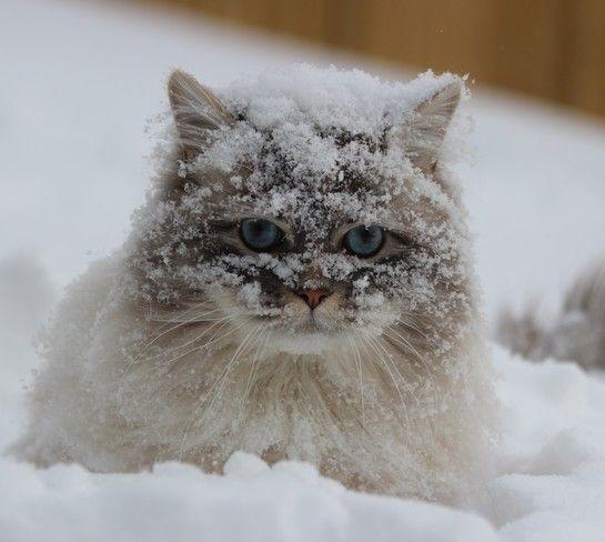Norwegian Forest Cat, kittens in winter snow scene. Date ...  |Winter Scenes With Cats