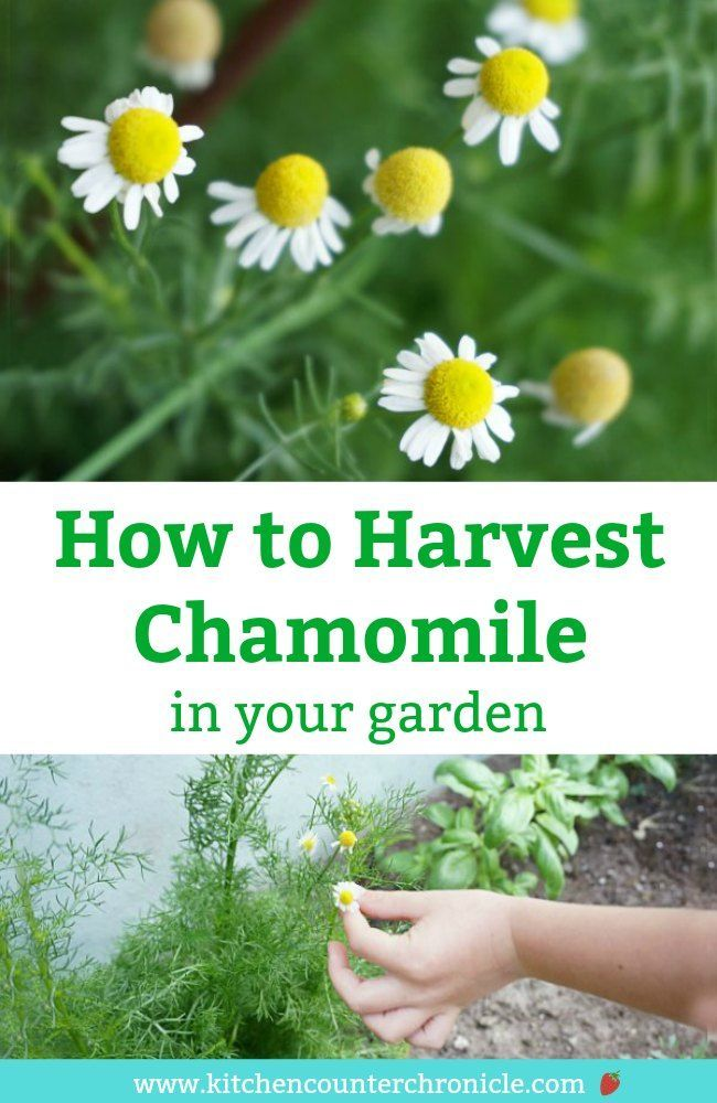 How To Harvest Chamomile And Dry Chamomile Flowers Chamomile Plant Chamomile Flowers Gardening For Kids