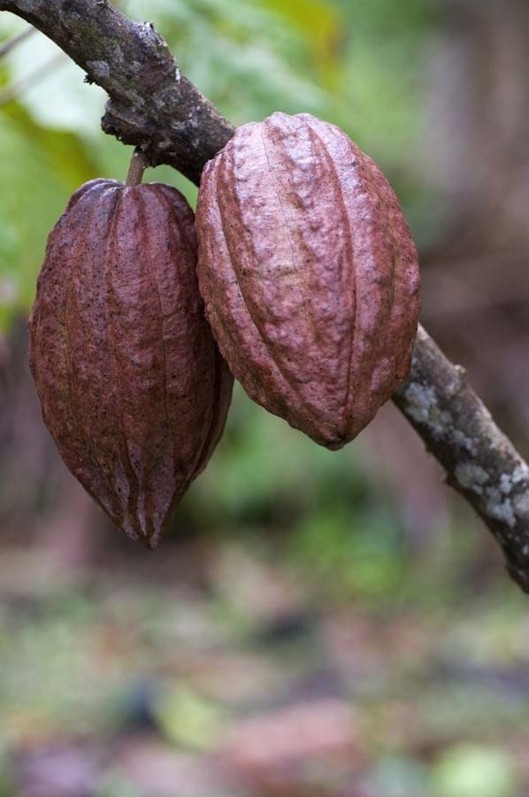 Cacao pods hanging on a branch in the cacao tree ...